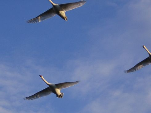 geese-in-flight.jpg