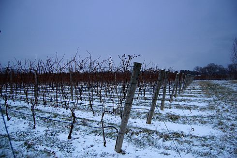 snowy-vineyard-at-dusk
