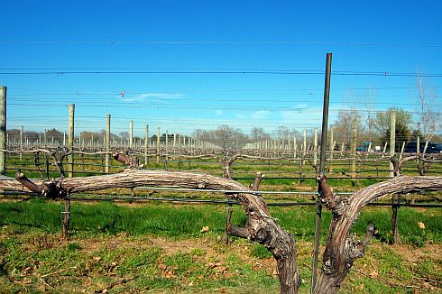 vineyard-spring-buds