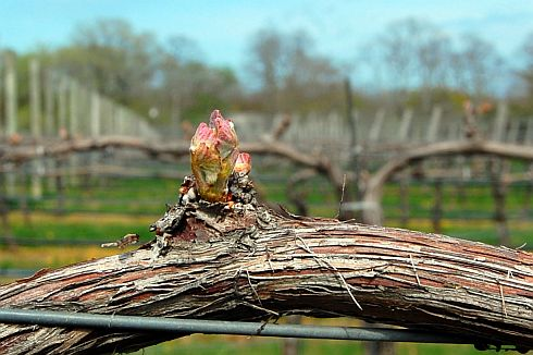 bud-break